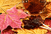 Sugar Maple Framed Prints - Maple Sugar Memory Framed Print by Charline Xia