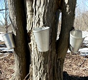 Visual Impresson Prints - Maple Tree Sap Pails  Print by Gail Matthews