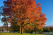 Turning Leaves Posters - Maple Trees Poster by Brian Jannsen