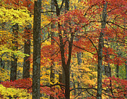 Autumn Photographs Posters - Maple Trees In Autumn Smoky Mts Poster by Tim Fitzharris