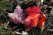 Huckleberry Photos - Maples Leaves on Huckleberry Rock by Hilkka  Aavasalmi