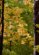 Maples Print by Steven Ralser