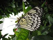 Brandie Marshall - Marbled White