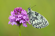 Marbled White Print by Mark Johnson