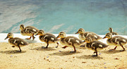 Baby Mallards Photos - March Of The Ducklings by Fraida Gutovich