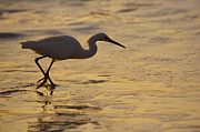 Egret Prints - March of the Egret Print by Mike  Dawson