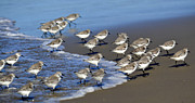 Sandpipers Posters - March Of The Sandpipers Poster by Fraida Gutovich