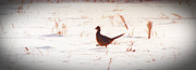 All - Marching Pheasant in Minnespta Winter by R Thomas Brass