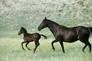 Fauna Posters - Mare and Foal Poster by Alan and Sandy Carey and Photo Researchers