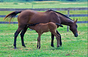 Gail Maloney Prints - Mare and Foal Print by Gail Maloney