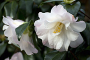 Camellia Japonica Photo Framed Prints - Margaret Ratcliffe 1 of 5 Framed Print by Terri Winkler