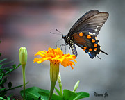 Nava Jo Thompson Posters - Marigold Swallowtail  Poster by Nava Jo Thompson