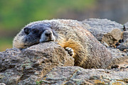 Tim Moore Metal Prints - Marmot on the Rocks Metal Print by Tim Moore