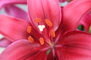 Maroon Lilies Print by Cary Amos
