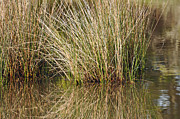 Beach Photographs Art - Marsh Grasses Reflected in Water at High Tide by Bruce Gourley