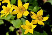 Cranberry Framed Prints - Marsh Marigold Framed Print by Thomas R Fletcher