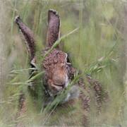 Greens Framed Prints - Marsh Rabbit Framed Print by Angie Vogel