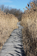 Plant Greeting Cards Prints - Marsh Trail - Winter Print by K Hines