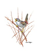 Wren Drawings - Marsh Wren by Carol Veiga
