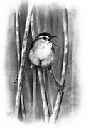 Wren Drawings - Marsh Wren In Pencil by Joyce Geleynse