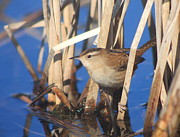 Concord Photo Framed Prints - Marsh Wren Framed Print by John Burk