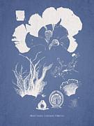 Martensia Elegans Hering Print by Aged Pixel