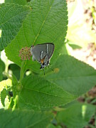 Bahamas Photos - Martial Scrub Hairstreak Butterfly by Kimberly Perry