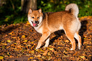 Japanese Dog Photos - Marvel 1. Shiba Inu Breed by Jenny Rainbow