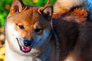 Japanese Dog Photos - Marvel. Shiba Inu Breed by Jenny Rainbow