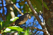 Mockingbird Photo Posters - Marvelous Mockingbird Poster by Al Powell Photography USA