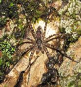 Lichens Pictures Prints - Maryland Fishing Spider Print by Joshua Bales