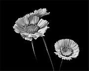 Short-lived Perennial Photos - Marys Black and Silver by Carol Hyman
