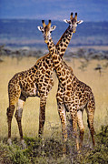 Frans Lanting MINT Images - Masai Giraffes