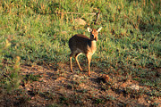 Masai Mara Prints - Masai Mara Dikdik Deer Print by Aidan Moran