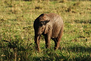 Elephant Photos - Masai Mara Elephant Calf  by Aidan Moran
