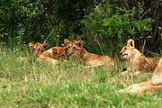 West Africa Prints - Masai Mara Lion Cubs Print by Aidan Moran