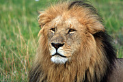Animal Portrait Prints Prints - Masai Mara Lion Portrait    Print by Aidan Moran