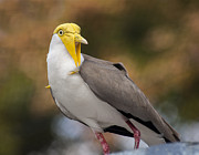 Lapwing Art - Masked Lapwing by Carolyn Marshall