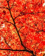 Peta Thames - Mass of Maple
