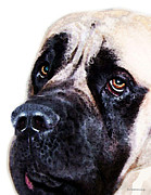 Slobbery Prints - Mastiff Dog Art - Sad Eyes Print by Sharon Cummings