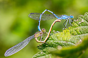 Damsel Fly Photos - Mating Damselflies. by Gary Gillette