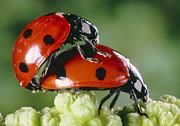 SPL - Mating Ladybirds