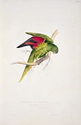 Exotic Drawings Prints - Matons Parakeet Print by Edward Lear