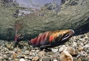 Spawning Prints - Mature Coho Paired Up For Spawning Print by Thomas Kline