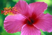 Flowers Framed Prints Photos - Maui Pink Hibiscus by Kathy Yates