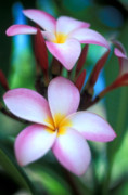 Blue Flowers Photo Posters - Maui Plumeria Poster by Kathy Yates