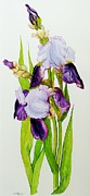 Signed Painting Prints - Mauve and purple irises with two buds  Print by Joan Thewsey