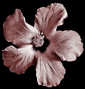 Mauve Hibiscus Print by Marsha Heiken