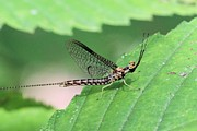 Mayfly Framed Prints - Mayfly Framed Print by Doris Potter