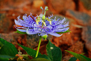 Passiflora Metal Prints - Maypop Flower Metal Print by Adam LeCroy